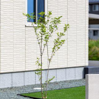 お庭にボリュームをあたえるシンボルツリーの成長が楽しみですね。